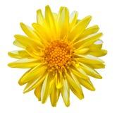 Flor amarilla de la dalia aislada en blanco Foto de archivo