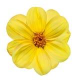 Flor amarilla de la dalia aislada en el fondo blanco Fotografía de archivo