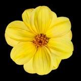 Flor amarilla de la dalia aislada en el fondo blanco Fotografía de archivo libre de regalías