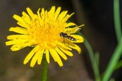 Flor amarilla de la hierba con la abeja imagen de archivo