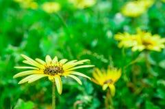 Flor amarilla de la hierba en el patio trasero Imagen de archivo
