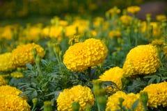 Flor amarilla de la maravilla Foto de archivo