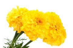 Flor amarilla de la maravilla aislada Foto de archivo libre de regalías