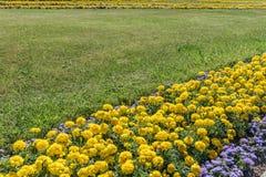 Flor amarilla de la maravilla y césped verde en el parque Fotos de archivo libres de regalías