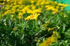 Flor amarilla de la margarita Imágenes de archivo libres de regalías