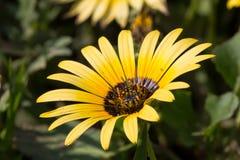 Flor amarilla de la margarita Foto de archivo