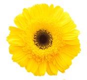 Flor amarilla de la margarita Foto de archivo libre de regalías