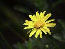 Flor amarilla de la margarita Fotografía de archivo libre de regalías
