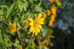 Flor amarilla de la margarita imagen de archivo