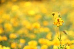 Flor amarilla de la margarita con el fondo amarillo del modelo Fotografía de archivo libre de regalías