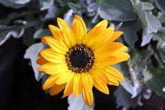 Flor amarilla de la margarita del Arctotis Fotografía de archivo libre de regalías