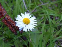 Flor amarilla de la margarita del moonflower de la margarita con la hierba verde alrededor Fotos de archivo libres de regalías