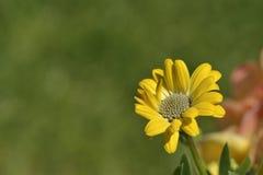Flor amarilla de la margarita del osteospermum en primavera Fotografía de archivo libre de regalías