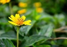 Flor amarilla de la margarita en fondo verde de la hoja Foto de archivo libre de regalías