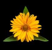 Flor amarilla de la margarita en negro Foto de archivo libre de regalías
