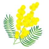 Flor amarilla de la mimosa Imagen de archivo