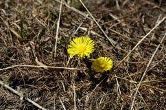 Flor amarilla de la montaña Fotografía de archivo