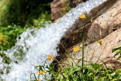 Flor amarilla de la montaña contra la perspectiva de una pequeña cascada Fotos de archivo libres de regalías
