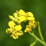 Flor amarilla de la mostaza Fotografía de archivo
