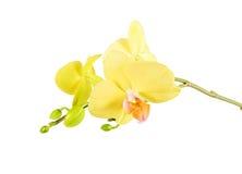 Flor amarilla de la orquídea aislada Fotografía de archivo