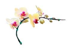 Flor amarilla de la orquídea aislada en blanco Fotografía de archivo