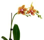 Flor amarilla de la orquídea aislada en el fondo blanco Foto de archivo libre de regalías