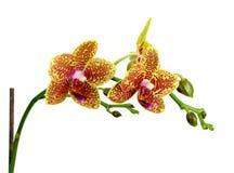Flor amarilla de la orquídea aislada en el fondo blanco Fotos de archivo
