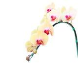 Flor amarilla de la orquídea aislada en el fondo blanco Fotografía de archivo