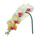 Flor amarilla de la orquídea aislada en el fondo blanco Imágenes de archivo libres de regalías