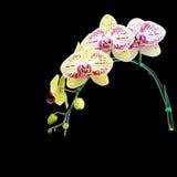 Flor amarilla de la orquídea aislada en fondo negro Imágenes de archivo libres de regalías