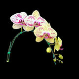 Flor amarilla de la orquídea aislada en fondo negro Fotos de archivo