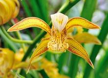 Flor amarilla de la orquídea en jardín Fotos de archivo libres de regalías