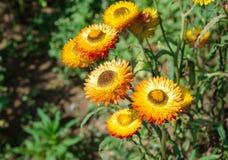 Flor amarilla de la paja Fotografía de archivo libre de regalías