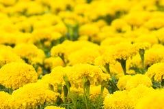 Flor amarilla de las maravillas Fotografía de archivo