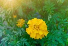 Flor amarilla de las maravillas con descensos del agua Fotos de archivo