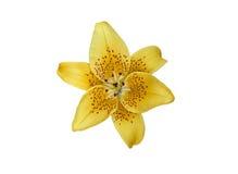 Flor amarilla de Lilly Foto de archivo libre de regalías