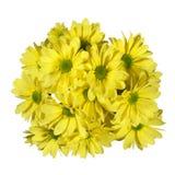 Flor amarilla de los crisantemos Imagenes de archivo