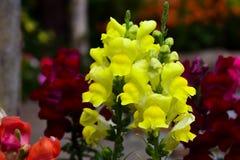 Flor amarilla de los gladiolos Fotos de archivo