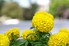 Flor amarilla de oro de la maravilla Imagen de archivo libre de regalías