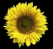Flor amarilla de un girasol en un fondo negro aislado con la trayectoria de recortes primer Ningunas sombras Fotografía de archivo