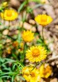 Flor amarilla debajo del sol de la mañana fotos de archivo libres de regalías
