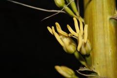 Flor amarilla del áloe Imágenes de archivo libres de regalías