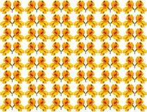 Flor amarilla del aislante del Tropaeolum en el fondo blanco Fotos de archivo