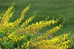 Flor amarilla del Baptisia Fotos de archivo