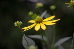 Flor amarilla del bosque Imágenes de archivo libres de regalías