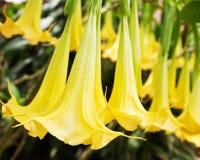 Flor amarilla del Brugmansia fotografía de archivo