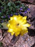 Flor amarilla del cacto Fotos de archivo libres de regalías