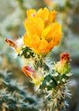 Flor amarilla del cacto imagenes de archivo