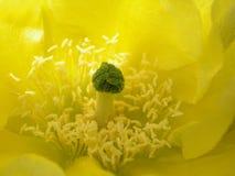 Flor amarilla del cacto Fotografía de archivo
