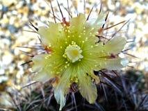Flor amarilla del cacto de pera espinosa Imagenes de archivo